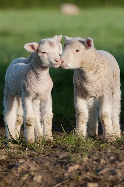 agneaux-a-la-ferme